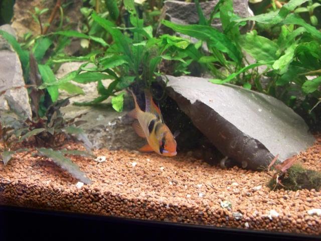 Mon aquarium 120L et mon aquarium 60L - Page 7 00812