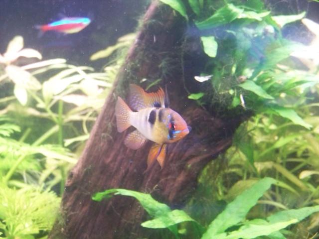 Mon aquarium 120L et mon aquarium 60L 01010
