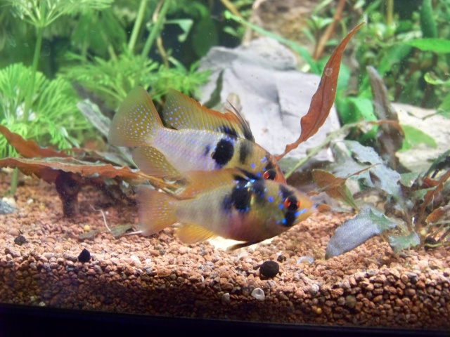 Mon aquarium 120L et mon aquarium 60L - Page 7 01911