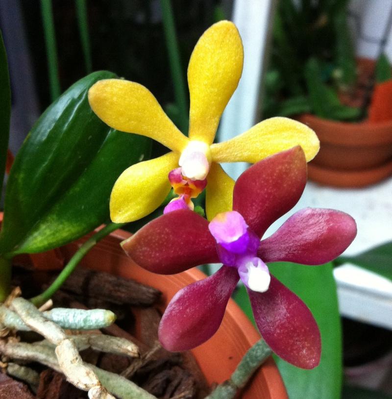 Phalaenopsis stobartiana x bastianii Img_3310