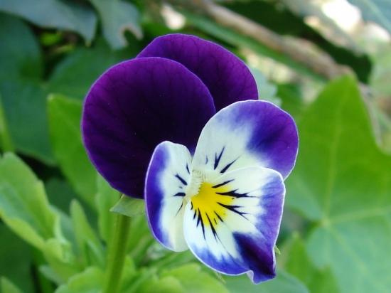 Des violettes - Page 3 Violet10