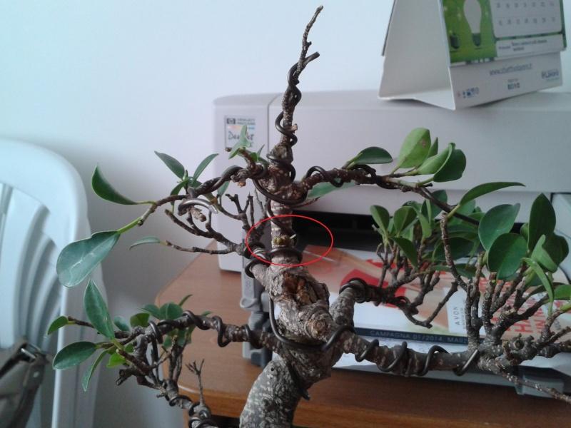 impostazione ficus - Pagina 2 Ficus10