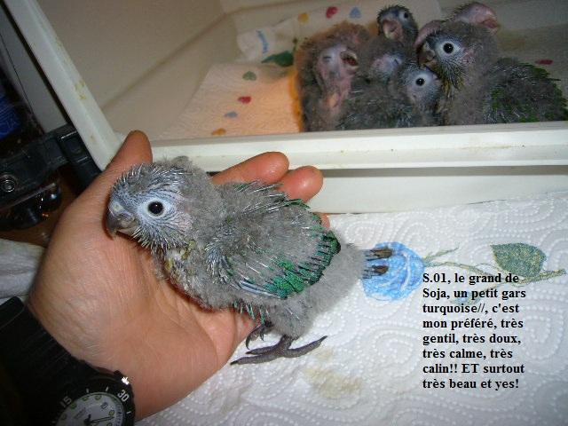 LOL conure à joue vertes couleur Turquoise P1310010