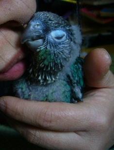 LOL conure à joue vertes couleur Turquoise P1310410