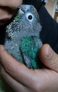 LOL conure à joue vertes couleur Turquoise P1310411