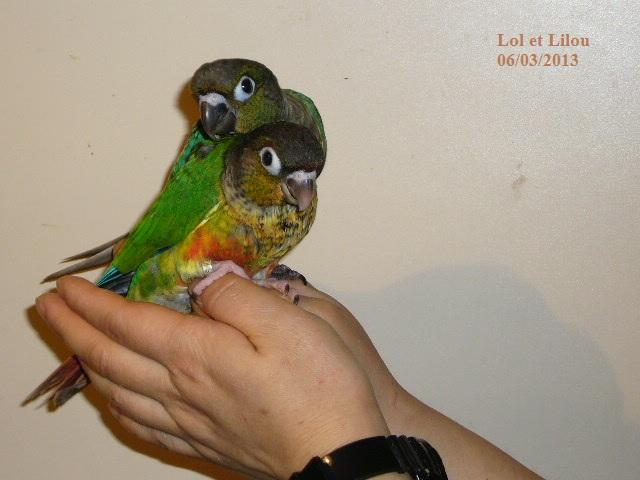 Lilou conure à joues vertes P1310912