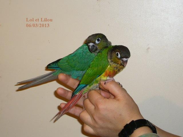 Lilou conure à joues vertes P1310913