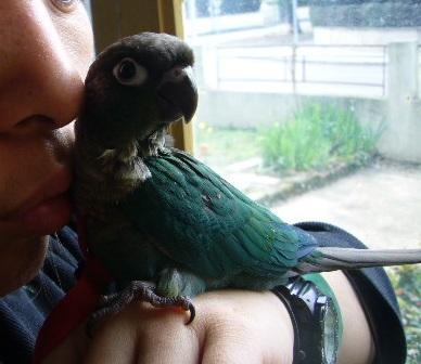 LOL conure à joue vertes couleur Turquoise P1310916