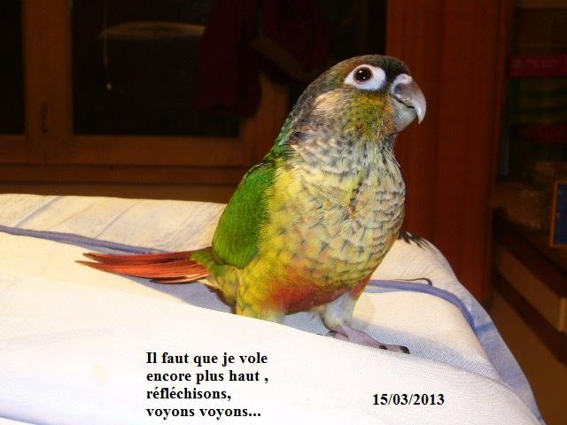 Lilou conure à joues vertes P1320210
