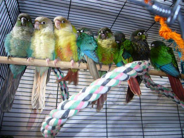 LOL conure à joue vertes couleur Turquoise P1320311