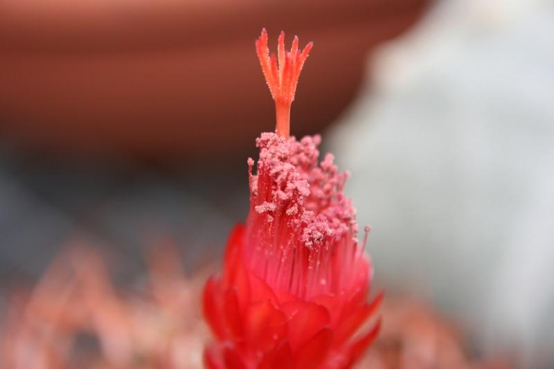 Denmoza rhodacantha Img_7011