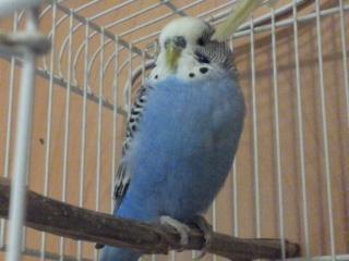 Petite perruche pas très intéressée ... Img_2012