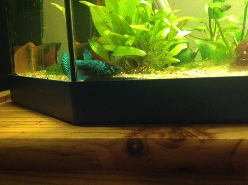 Mâle Halfmoon turquoise+femelle Crowntail verte émeuraude Amerau12