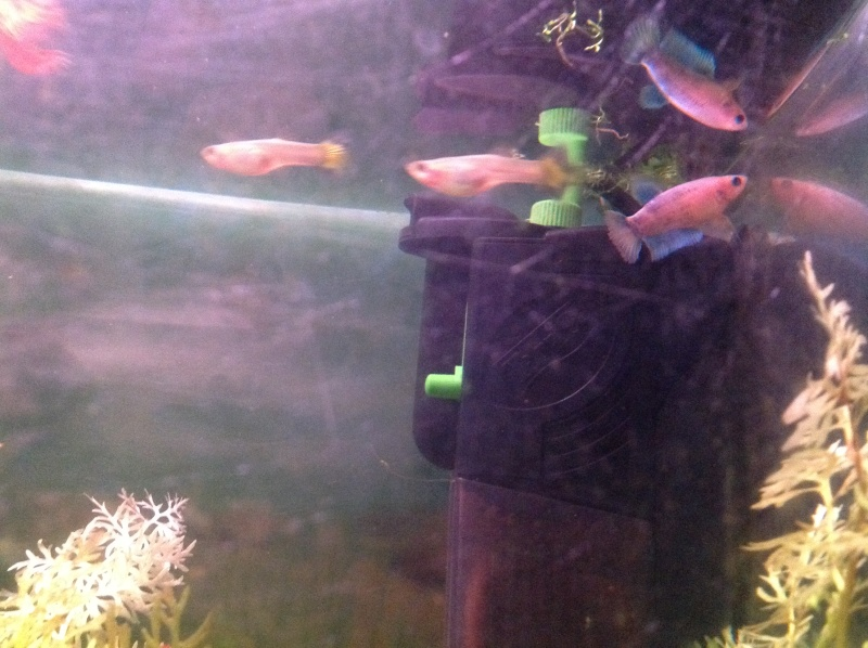 Mâle Halfmoon turquoise+femelle Crowntail verte émeuraude Ile13
