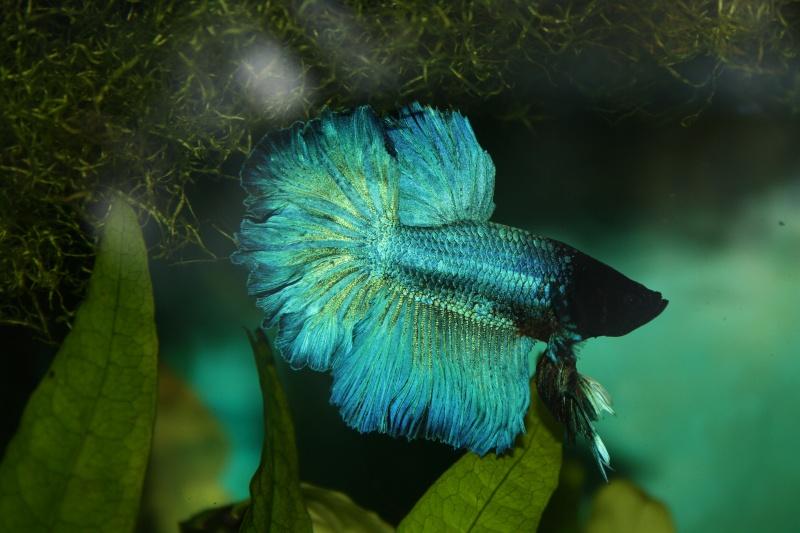 Mâle Halfmoon turquoise+femelle Crowntail verte émeuraude Petit_10
