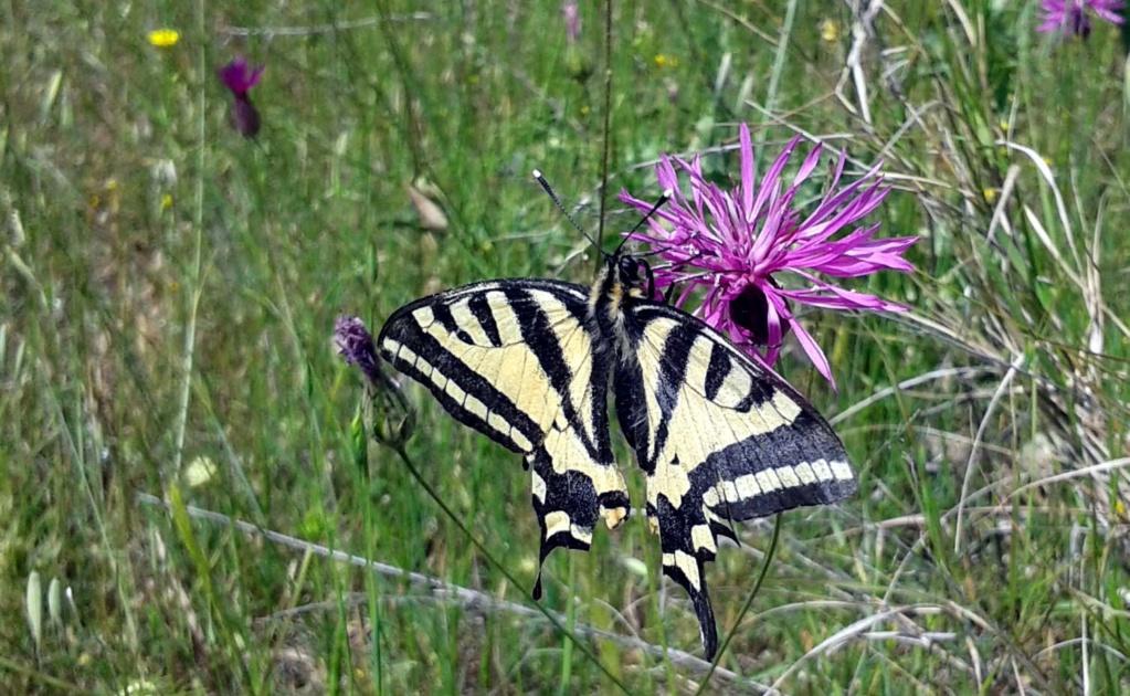 [Papilio alexanor] 20190410