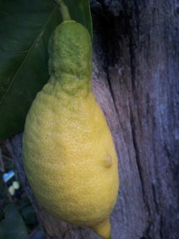 Citrus limon - citronnier des quatre saisons - Page 5 20160811