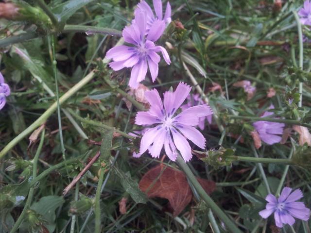 Cichorium intybus - chicorée sauvage, chicorée amère 20170810