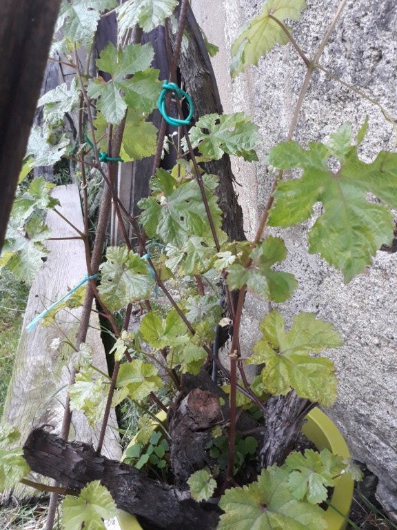 bouturage de la vigne 20180612