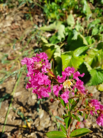 lagerstroemia ou lilas des Indes - Page 3 20180815