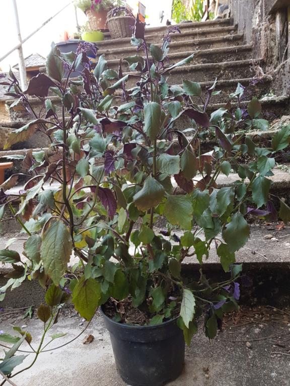 Plectranthus 'Mona Lavender' - Page 3 20180911