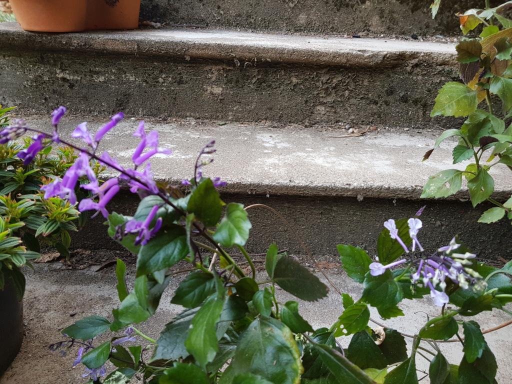 Plectranthus 'Mona Lavender' - Page 3 20180915