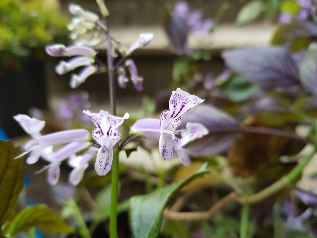 Plectranthus 'Mona Lavender' - Page 3 20180916