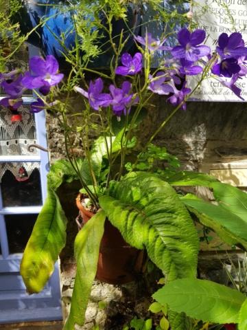 streptocarpus hybride 20190142