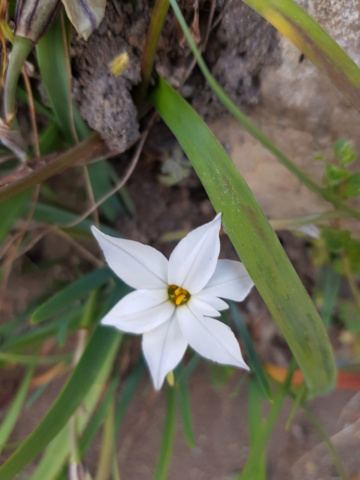 ipheion uniflorum ou tristagma uniflorum 20190238