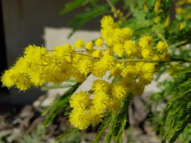 ça commence a fleurir...(Mimosa, Acacia dealbata) - Page 5 20190240