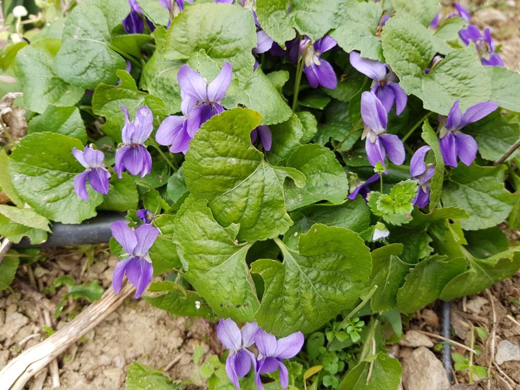 Les violettes - Page 12 20190244