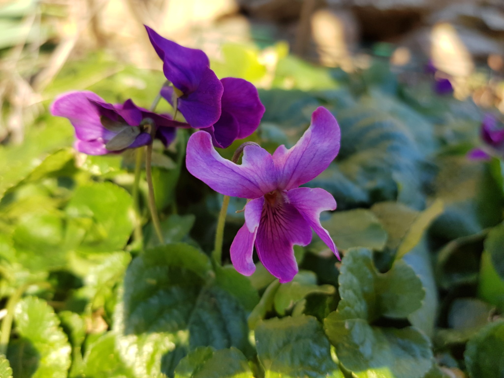 Les violettes - Page 12 20190316