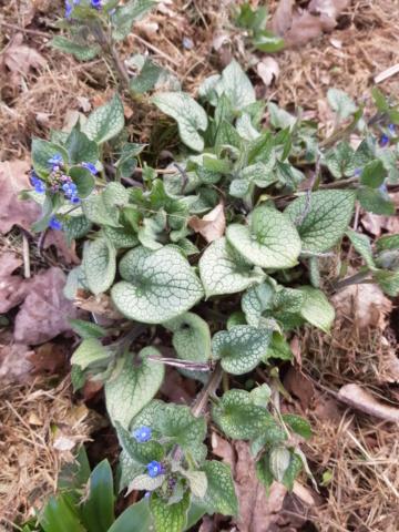 brunnera macrophylla ou myosotis du caucase - Page 3 20190344