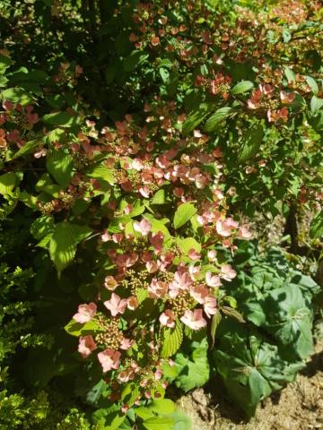 viburnum plicatum molly schroeder - Page 2 20190527