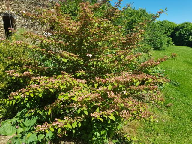 viburnum plicatum molly schroeder - Page 2 20190529