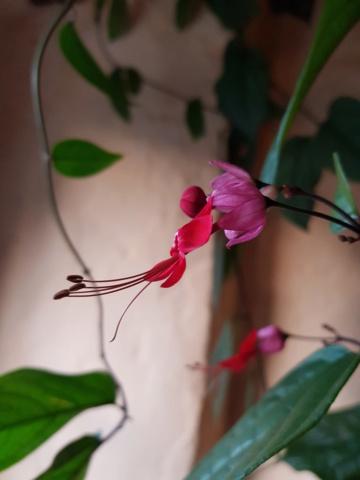 clerodendron speciosum 20190611