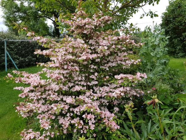 viburnum plicatum molly schroeder - Page 2 20190626