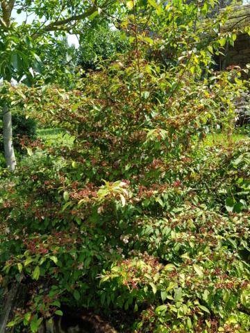 viburnum plicatum molly schroeder - Page 2 20190722