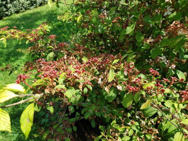 viburnum plicatum molly schroeder - Page 2 20190723