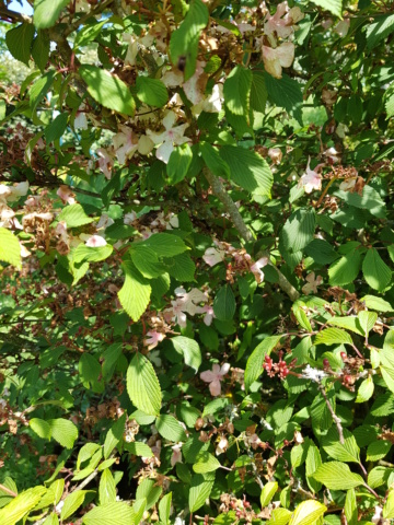 viburnum plicatum molly schroeder - Page 2 20190724
