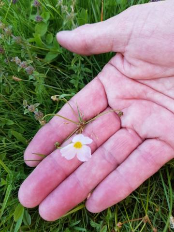 petite plante à floraison rose pale baldellia repens 20190747