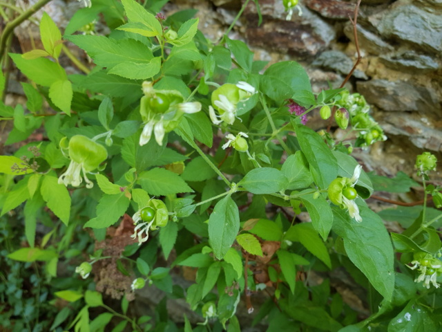 plante à fleur blanche : silene baccifera 20190817