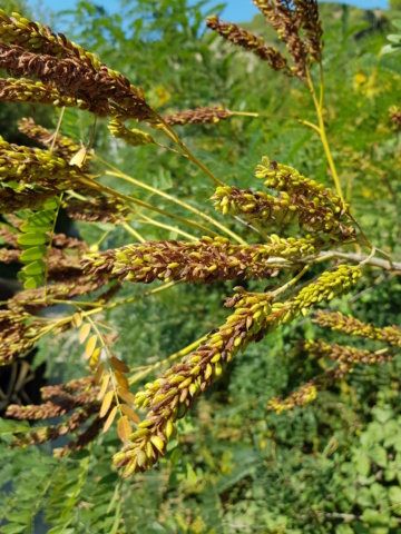 """arbuste à feuilles """"d'acacia"""" 20190858"""