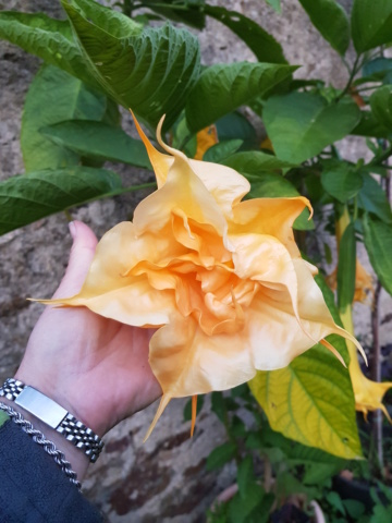 Le brugmansia  - Page 3 20190912