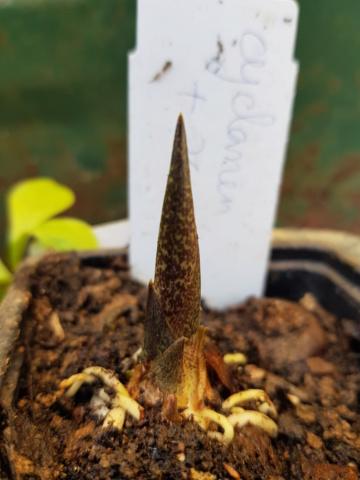 Gouet serpentaire  dracunculus vulgaris - Page 10 20191023