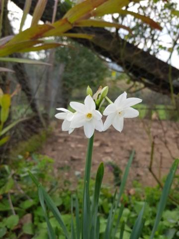Bulbeuse floraison hivernale : narcisse paperwhite  - Page 2 20191030