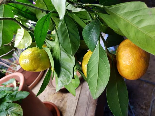 mandarinier satsuma 20191115
