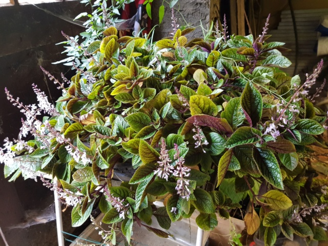 plectranthus purpuratus 20191128