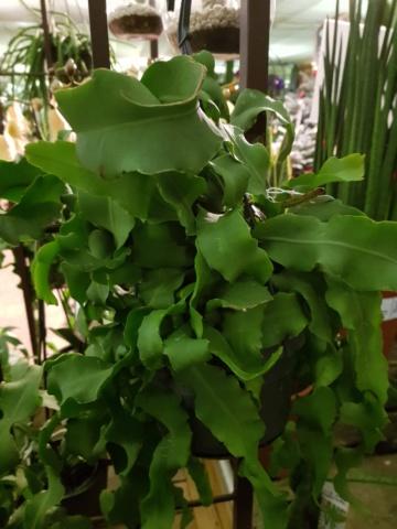 epiphyllum guatermalense 20191132