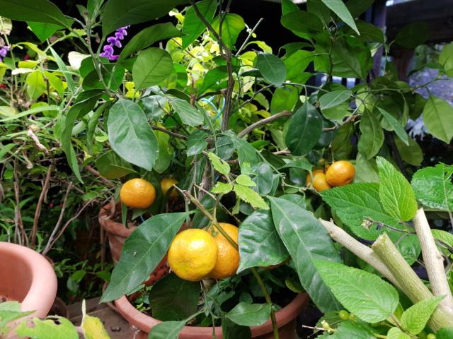 mandarinier satsuma 20191133